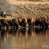 Bison Preparing for a Swim Across the Yellowstone River in Hayden Valley, YNP, Oct. 2011