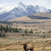 Rocky Mtn Elk, Electric Peak background, Oct. 2011