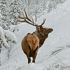 Rocky Mtn. Elk, near Gibbon River, YNP, Nov. 2013
