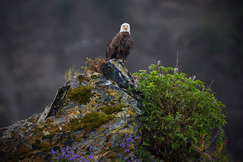 Bald Eagle sits upon a granite spire in Seward Alaska.