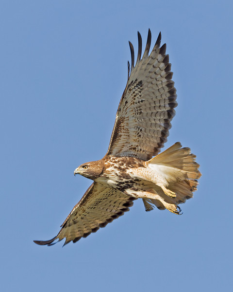 Red Shoulder Hawk, Juvenile.
