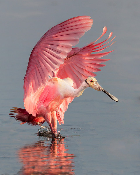 Roseate Spoonbill, Photo Captured at Merritt Island National Wildlife Refuge.