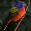 Painted Bunting, Merritt Island National Wildlife Refuge