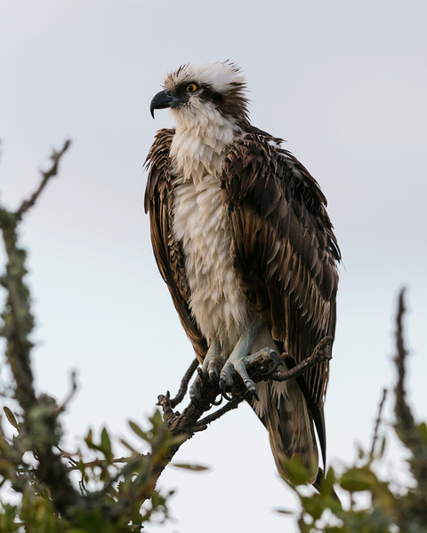 Osprey,  Fluffed out feathers in the morning.