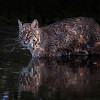 Florida Bobcat, captured at Merritt Island National Wildlife Refuge.