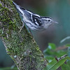 Black and White Warbler, Corkscrew Sanctuary