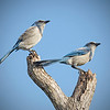 Florida Scrub Jay's, on the endangered list.