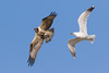 Seagull harassing an osprey after a successful catch