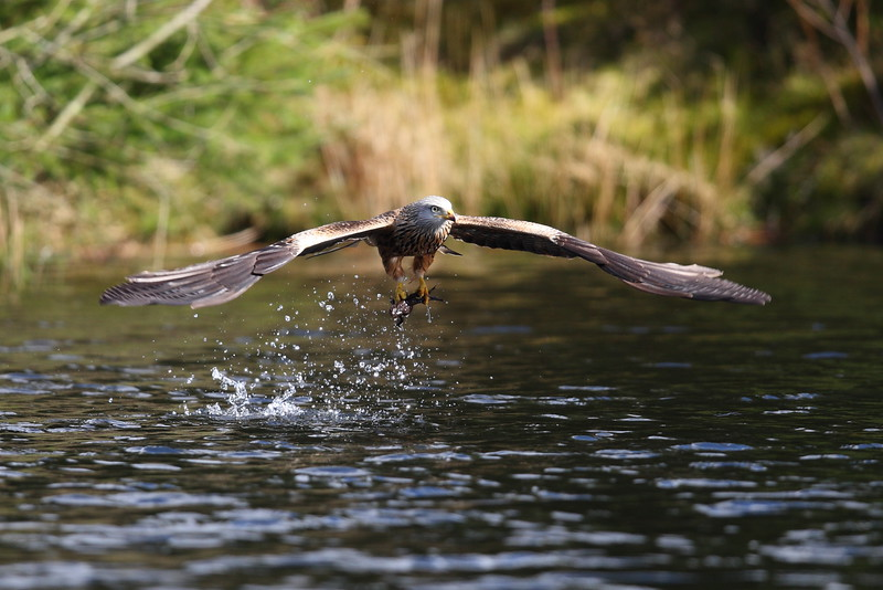 Red Kite Catching a Toad