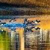 20131215-Ring-necked Ducks-0087