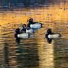 20131215-Ring-necked Ducks-0068