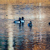 20131215-Ring-necked Ducks-0021