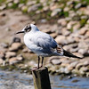 Black-headed gull (Chroicocephalus ridibundus).