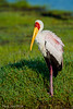 Yellowbilled Stork, Mycteria ibis