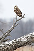 Image #7837 Short-Eared Owl ~ Niagara County New York State Listed - Endangered Species