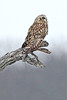 Image #7882 Short-Eared Owl ~ Niagara County New York State Listed - Endangered Species