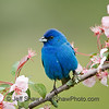 Indigo Bunting with pink crap apple flowers