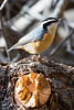 Red-Breasted Nuthatch-0982