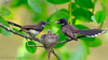 Four Fantails