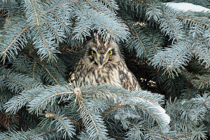 """WATCHFUL EYES"" Image #5243 Short-Eared Owl ~ (In My Backyard) New York State Listed - Endangered Species"