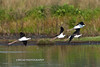 Black-Necked Stilts Flight-1