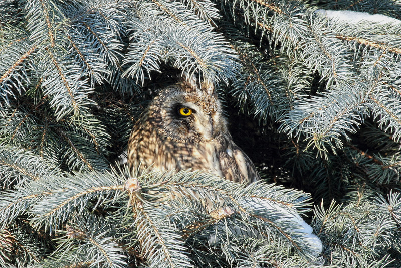 """BUNKERED DOWN"" Image #5292 Short-Eared Owl ~ (In My Backyard) New York State Listed - Endangered Species"