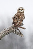 """BUBO"" Image #7824 Short-Eared Owl ~ Niagara County New York State Listed - Endangered Species"