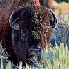 Head of Bison