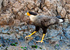 Crested Caracara holding a fish in his claw
