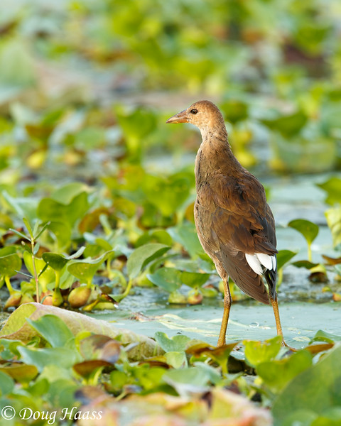 Juvenile Common Moorhen