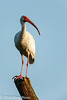 White Ibis on Pilant Lake