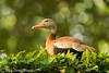 Black Belly Whistling Duck in Tree