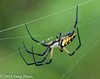 Black and Yellow Garden Spider Argiope aurantia