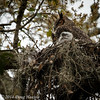 Female Great Horned Owl on nest with owlet