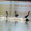 Cormorants and Turtles