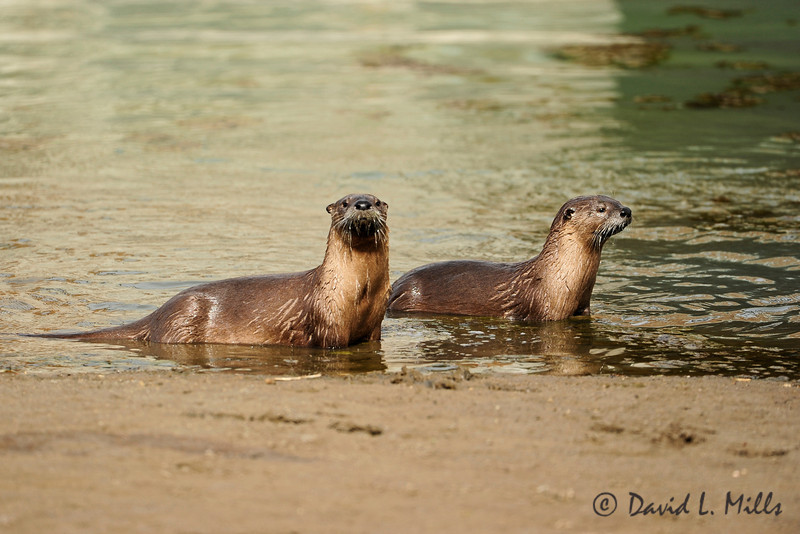 River Otters, Pelican Creek, Pelican Valley, Yellowstone, Oct 2012