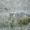 Frosty Coyote Hunting on a Foggy Morning, Hayden Valley, YNP, Oct 2011
