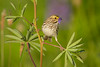 Savannah Sparrow 053