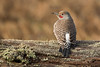 Northern Flicker 033