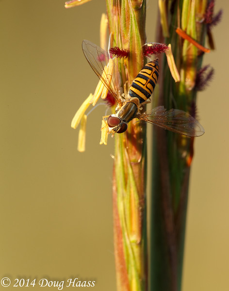 Yellow Jacket Hoverfly Milesia virginiensis on Tripsacum dactyloides (Eastern gamagrass)