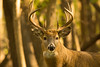 Whitetail Buck 2_PSundberg