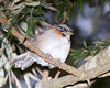 rufous-collard sparrow