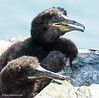 Shag chicks