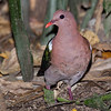 Emerald Dove (Chalcophaps indica chrysochlora)