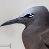 Common Noddy (Anous stolidus)
