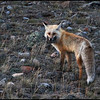 Dusk, red fox with mouthful of rodents (Vulpes vulpes)
