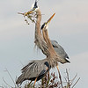 Great Blue Herons engage in nest building at Viera Wetlands.