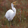 Great Egret ~ Merritt Island National Wildlife Refuge
