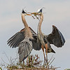 The pass off!  Great Blue Herons engage in nest building at Viera Wetlands.