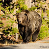 Scare Face, Well Known Older Grizzly of Yellowstone National Park, near Virginia Cascade